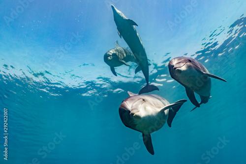 Naklejki delfiny  rodzina-delfinow-plynaca-w-wodzie