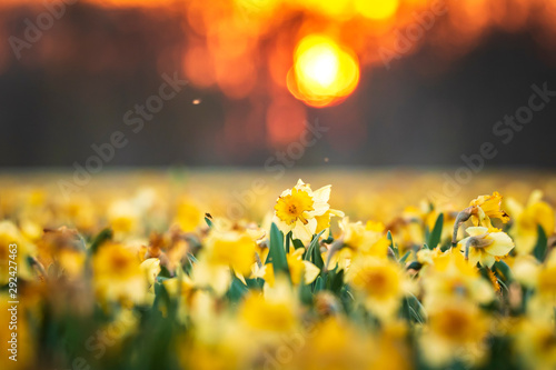 Printed kitchen splashbacks Narcissus Colorful blooming flower field with yellow Narcissus or daffodil closeup during sunset.