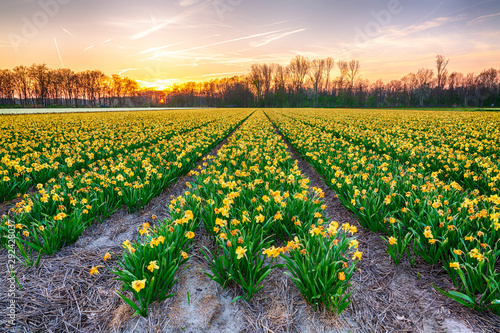 Montage in der Fensternische Narzisse Colorful blooming flower field with yellow Narcissus or daffodil during sunset.