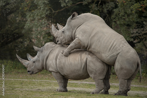 Photo sur Aluminium Rhino Two rhinoceros making love