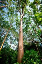 Rainbowtree, In Hawaii, Maui