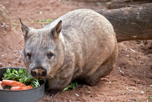 The Hairy Nosed Wombat Is A Ve...