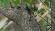 Blue-headed Agama In Atree, Ug...