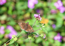 Erynnis Tristis, The Mournful Duskywing, Is A Species Of Spread-wing Skipper In The Butterfly Family Hesperiidae, Drinking From Purple And Lavender Lantana Flowers. Top View.