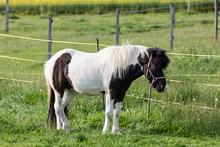 Brown-white Pinto Pony Stands ...