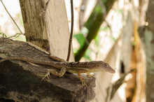 Brown Anole Looking Over The Edge