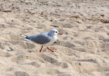 Seagull Walking At The Sandy B...