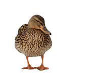 Wild Brown Female Duck Isolate...