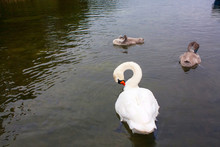 Swan Neck Ring