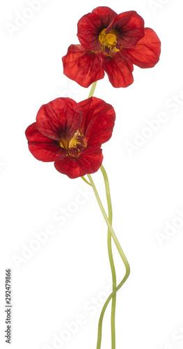 Cadres-photo bureau Fleuriste nasturtium flower isolated