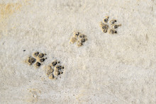 Close Up Of Dog Paw Print