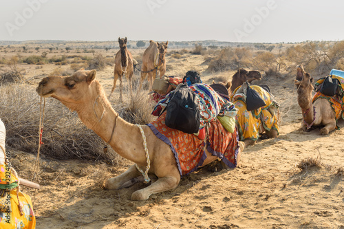 Fotobehang Kameel Camels for Safari in Thar desert. Jaisalmer. India
