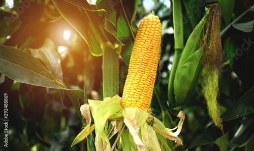 Obraz The corn or Maize is bright green in the corn field. Waiting for harvest - fototapety do salonu