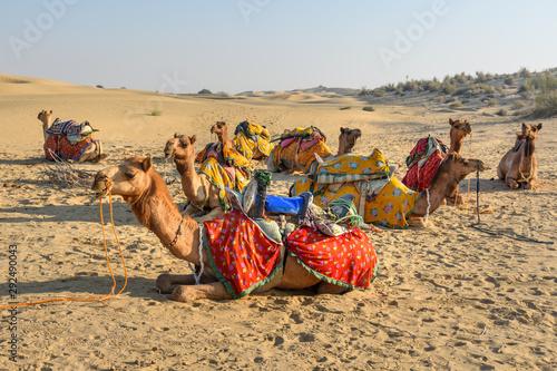 Fotografija  Camels for Safari in Thar desert. Jaisalmer. India