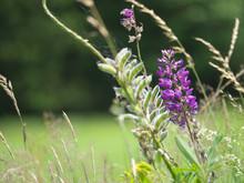 Lupinen - Blumen Am Waldrand
