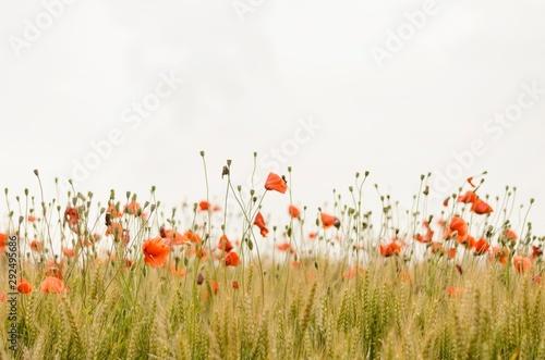 Tuinposter Klaprozen orange flowers on field