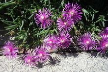 晴れた日の紫の孔雀ア...