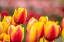 チューリップの花 カラフルな春イメージ
