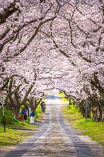 桜のアーチ 春イメー...
