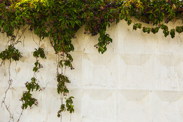 White stone wall texture with green leafs
