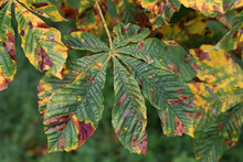 Horse Chestnut Tree Infested W...