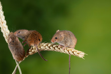 Adorable Cute Harvest Mice Mic...