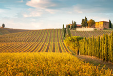 Golden Vineyards In Autumn At ...
