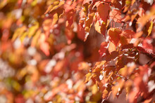 Beautiful Colorful Leaves In Autumn Forest. Red, Orange, Yellow, Green And Brown Autumn Leaves. Bush And Tree Foliage. Seasonal Background.