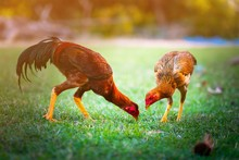 Two Chickens Are Searching For...