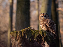 Tawny Owl (Strix Aluco) In Spring Forest. Tawny Owl Sits On Tree. Tawny Owl And Sping Background.