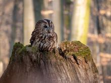Tawny Owl (Strix Aluco) In Spr...