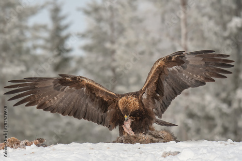 Golden eagle with wings spread rips pieces of meat from frozen racoon carcass Wallpaper Mural