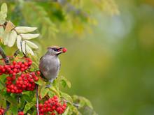 A Beautiful Bohemian Waxwing (Bombycilla Garrulus) Feeding On Rowan Tree Berries