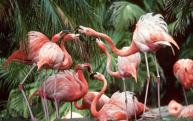Panel Szklany Popularne flamingo
