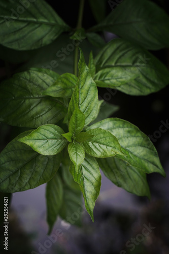 Basil leaf herb of the family native to tropical Asia. Canvas Print
