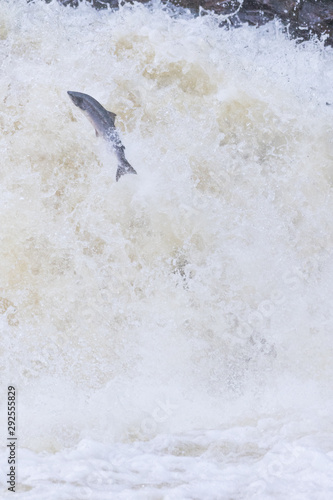 Fotobehang Vlinders in Grunge Large Atlantic salmon leaping up the waterfall on their way migration route to their spawning grounds