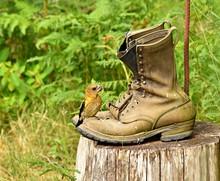 Evening Grosbeak Bird On Old Boots