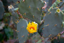 Early Summer Blossoming Yellow Flower On The Nutritious Eastern Prickly Pear Or Opuntia Humifusa Cactus Plant That Is From Dry Mountain Area At Rocky Off Road Sides In Tamilnadu South India Asia