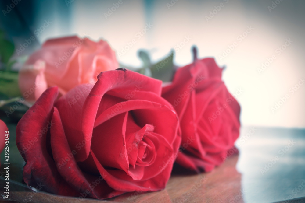 Fototapeta Three roses indoors with gentle soft light.Rose buds in focus.  Close-up shot in studio soft light. Vignette frame.