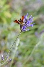 Farfalla  Grande Skipper Ochlodes Venata