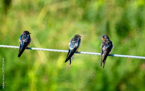 tres golondrinas aves alambre fondo verde difuminado Canvas Print