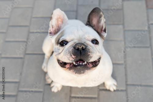 Obraz White bulldog sitting on ground - fototapety do salonu