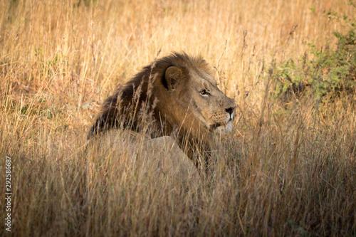 Fototapeta King of the Jungle
