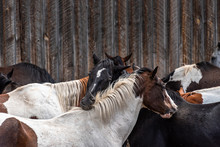 Close Up Of Horses Grooming Each Other In Front Of The Rustic Wood Wall Of An Old Barn.