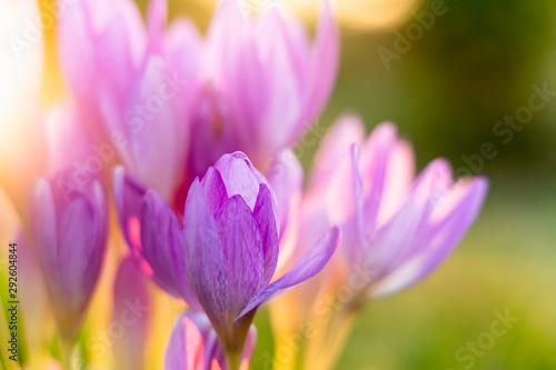 Colchicum, Autumn Crocus. Beautiful Flowers in Morning Light