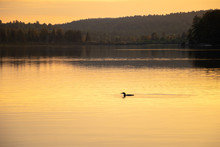 Lone Loon In The Golden Evenin...