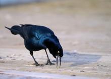 Grackle Bird On Boardwalk