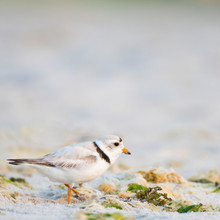 Piping Plover Beach