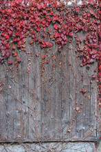 Ivy On Wooden Fence In Autumn ...
