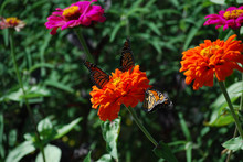 Three MonarchThree Butterflies Sharing An Orange Zinnia Flower In A Garden